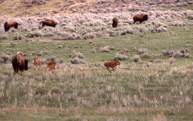 Bison with calves in Lamar Valley - note calf running Picture