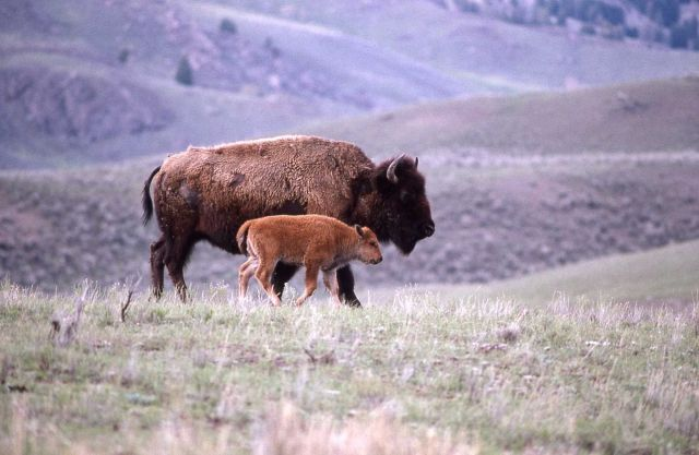 Bison cow & calf in Lamar Valley Picture