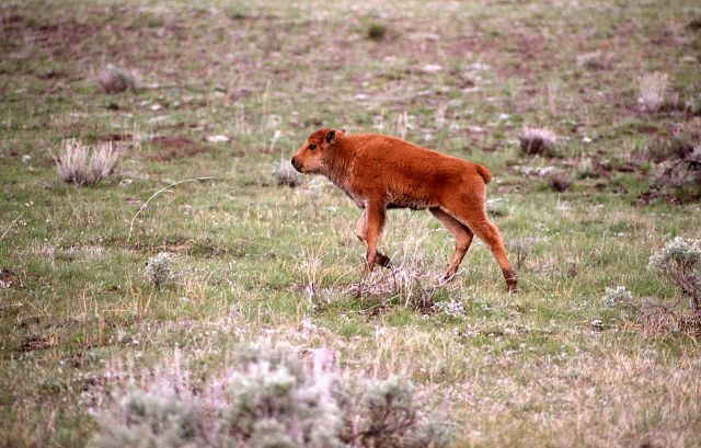 Bison calf in Lamar Valley Picture