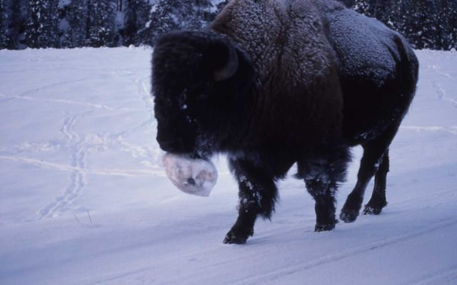 Bison in winter with ice ball on chin Picture