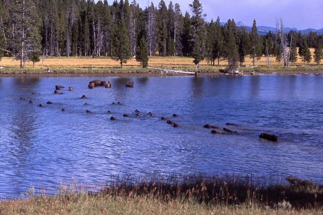 Bison in Yellowstone River upstream of LeHardy Rapids Picture