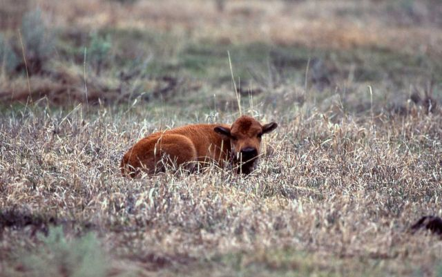 Bison calf laying in grass Picture