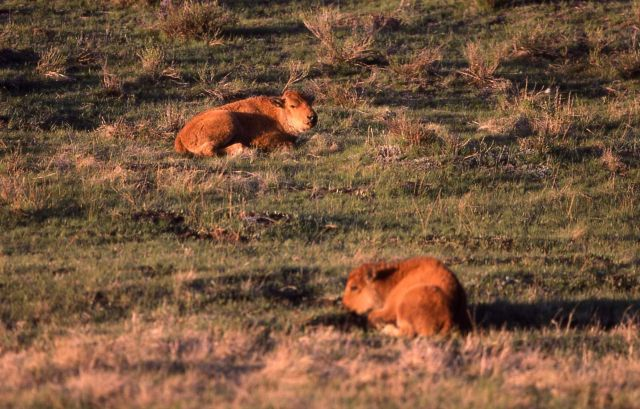 Two bison calves laying in grass Picture