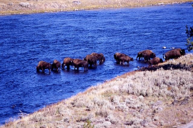 Bison in Madison River Picture