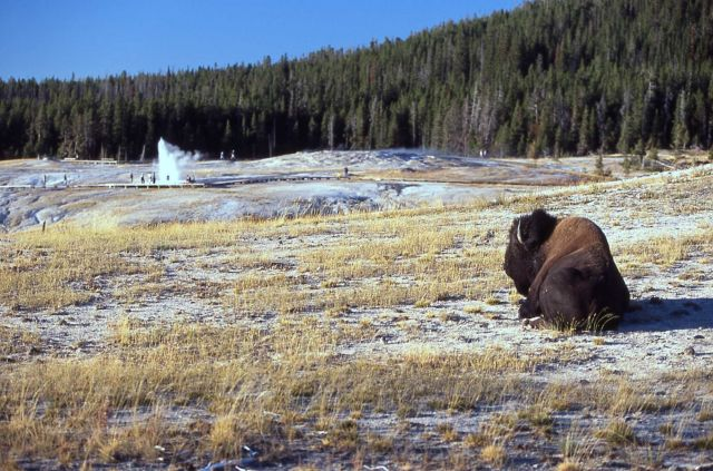Bison near Old faithful Geyser. Plume Geyser in distance Picture