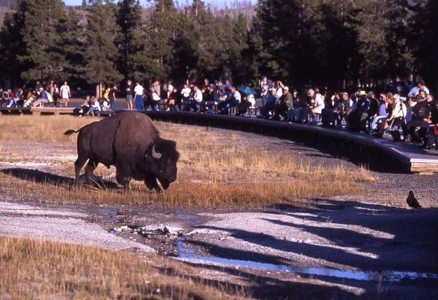 Bison at Old Faithful Geyser Picture