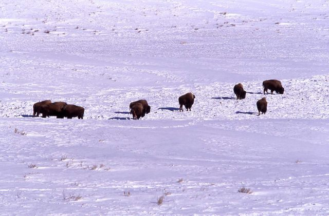 Bison cow with afterbirth in snow, possibly an aborted calf, near Blacktail Lakes Picture