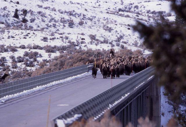 Bison hazing at Gardner High Bridge - 223 bison Picture