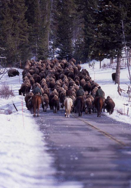 Bison hazing near Undine Falls - 223 bison Picture