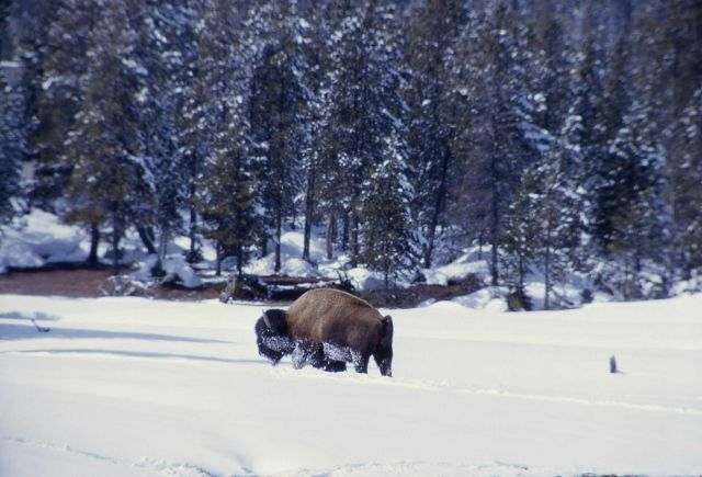 Bison in snow at Norris Junction Picture
