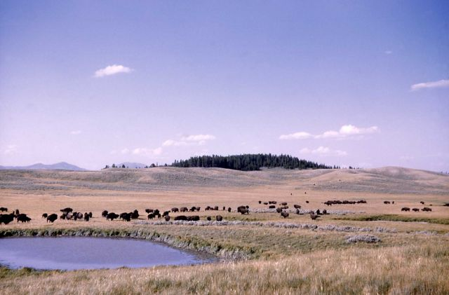 Bison herd at Upper Hayden Valley Picture