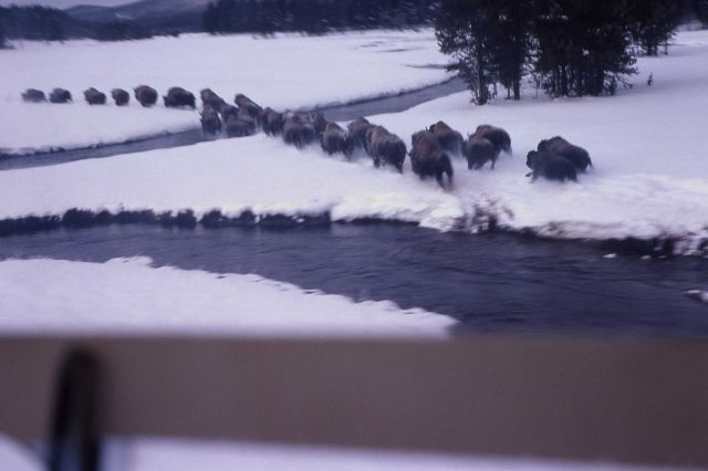 Bison drive in snow at Upper Nez Perce Creek Picture