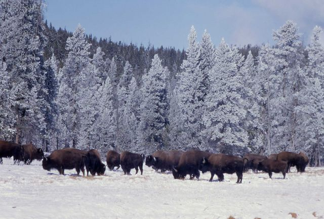 Bison in snow at Firehole River Picture