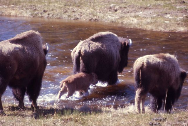 Bison crossing Nez Perce Creek Picture