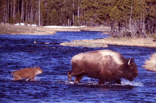 Bison & calf crossing stream Picture