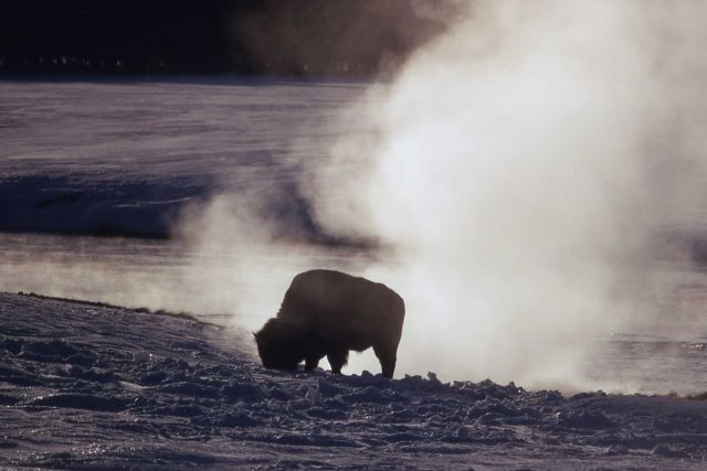 Bison at hot springs Picture