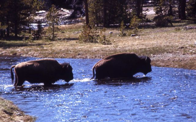 Bison crossing Nez Perce River Picture