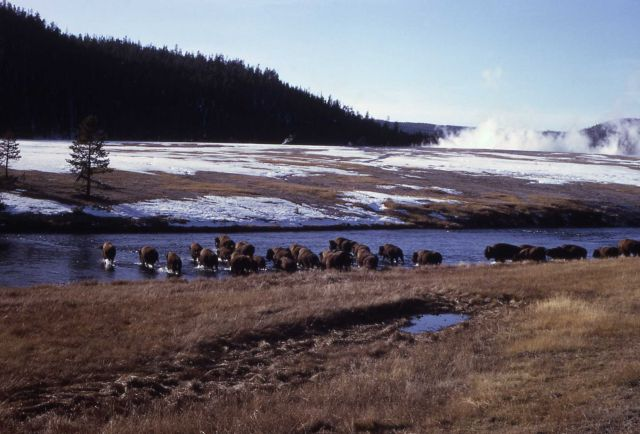 Bison crossing Firehole River Picture