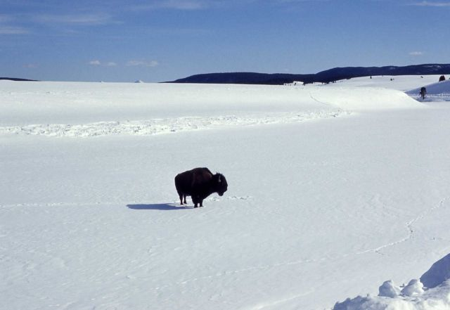 Bison crossing Yellowstone River on ice Picture