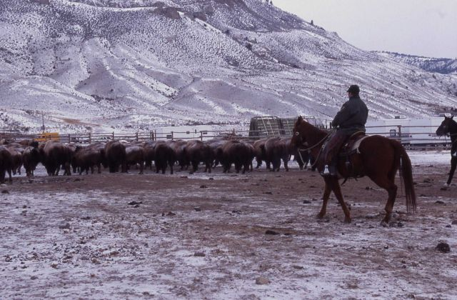 Rangers moving bison into Stephens Creek pen Picture
