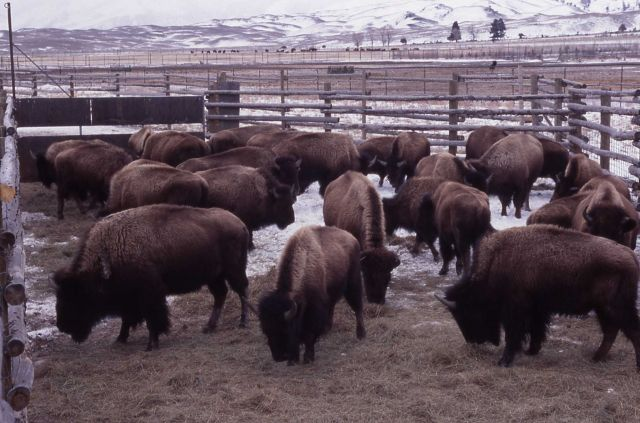 Bison in foreground & distant pen - Stephens Creek Picture