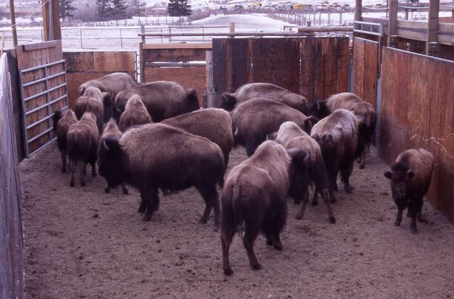 Bison in pen at Stephens Creek Picture