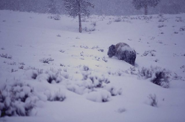 Bison in heavy snowfall near Round Prairie at Pebble Creek Picture