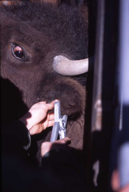 Ear tagging bison Picture