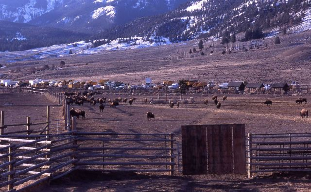 Holding pen for bison to be released in the spring in Yellowstone National Park - Stephens Creek Picture