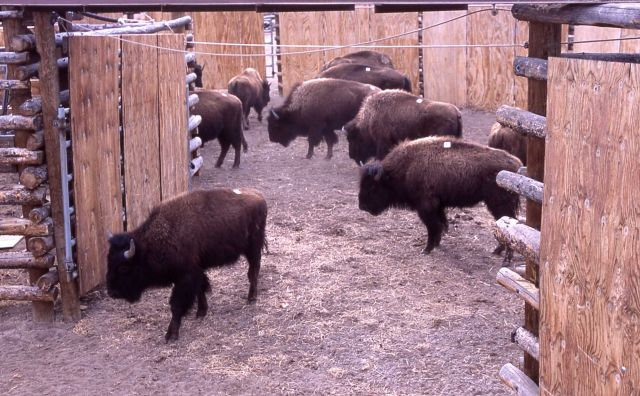 Stephens Creek bison pens Picture