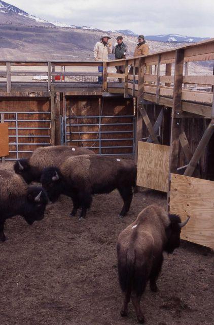 Stephens Creek bison pen - Monty Simenson, Brian Helms, Ben Cunningham Picture