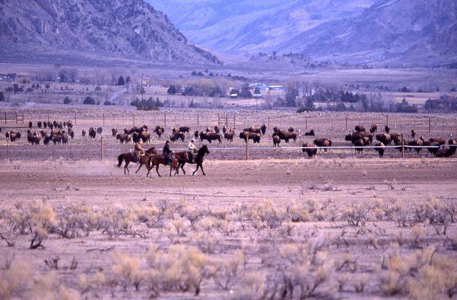 Wally Wines & Randy Wuertz (MT Fish Wildlife & Parks) & Monty Simenson preparing to release bison Picture