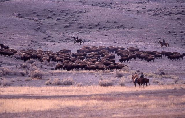 Bison moving southeast from Stephens Creek pen - staff on horseback monitoring Picture