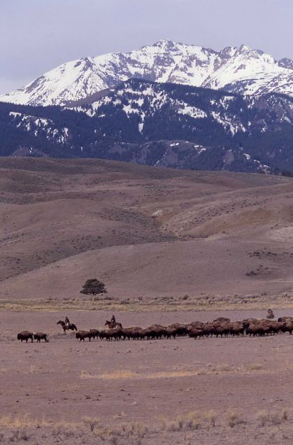 Bison moving past Gardiner with Electric Peak in the distance - staff on horseback Picture
