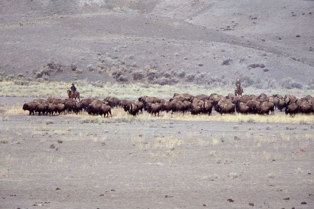 Bison moving southeast from Stephens Creek pen - staff on horseback Picture