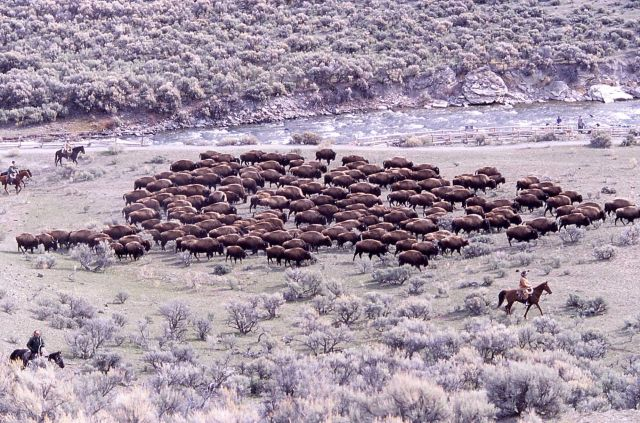 Bison near Boiling River - staff on horseback monitoring Picture