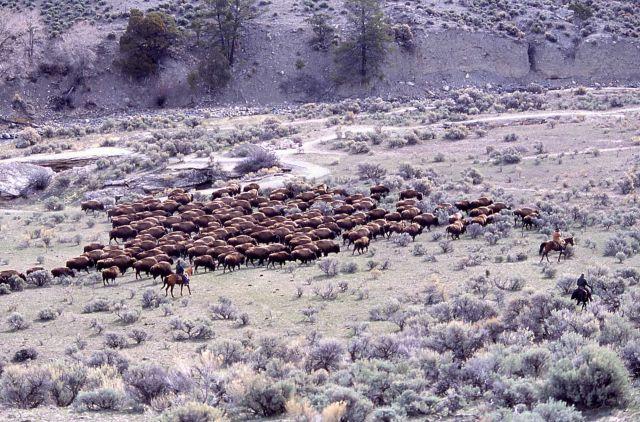 Bison at Boiling River - staff on horseback monitoring Picture
