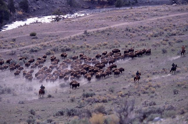 Bison near Gardner River & Boiling River - staff on horseback Picture