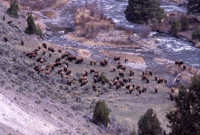 Bison at Gardner River & Lava Creek confluence Picture
