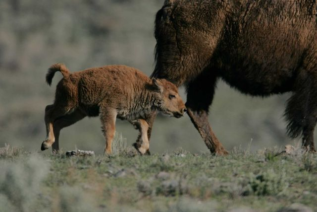 Bison calf following cow - Little America Flats Picture