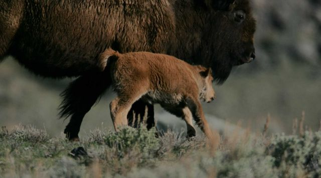 Bison calf & cow - Little America Flats Picture