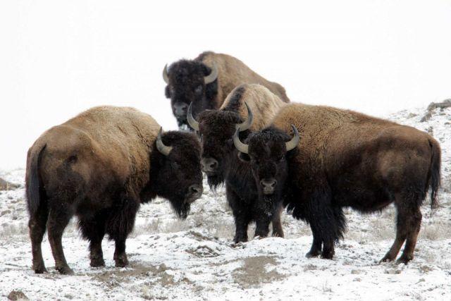 Bison near Soda Butte Creek Picture