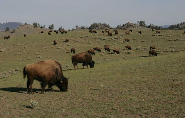 Bison herd - Little America Flats Picture