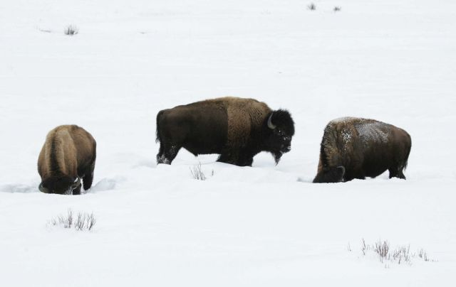 Three bull bison, Round Prairie Picture