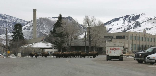 Bison in Gardiner, MT Picture