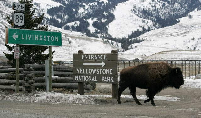 Bison next to road signs in Gardiner, MT Picture