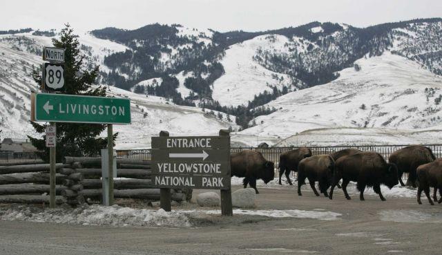 Bison in Gardiner, MT Picture