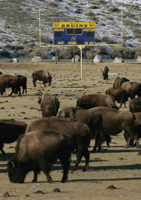 Bison on Gardiner, MT. school football field Picture