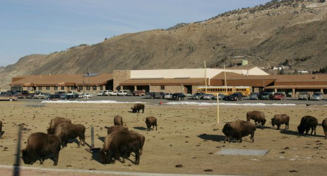 Bison on Gardiner, MT. school football field Picture