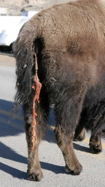 Cow bison with afterbirth in Gardiner, MT Picture
